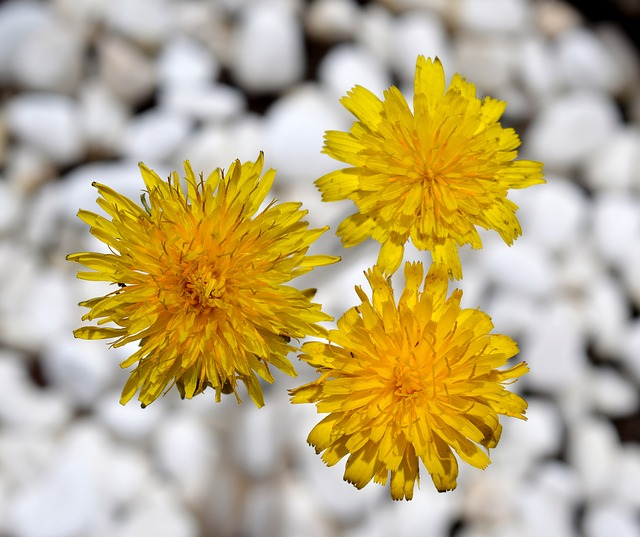 Free dandelion yellow flower nature