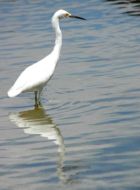 Free heron white bird water