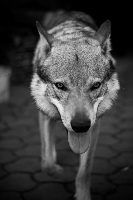 Free dog wolf pet big animal scary cat
