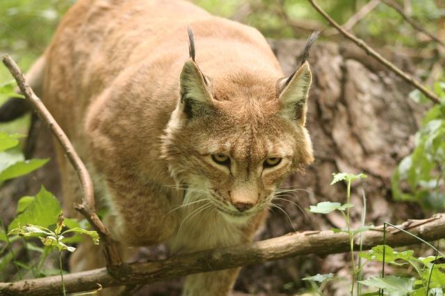 Free lynx lynx lynx eurasischer lynx felidae cat