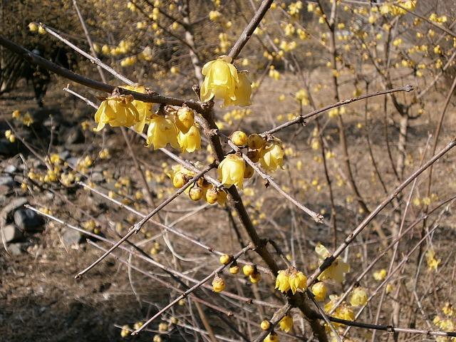 Free plum robin flowers wood yellow