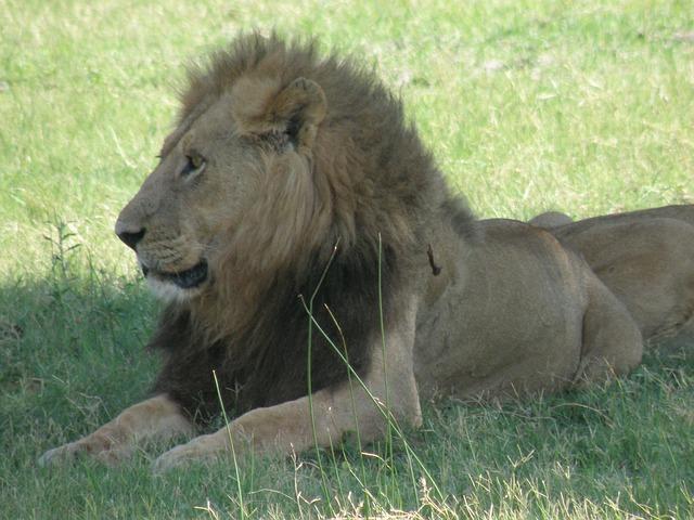 Free africa botswana animals okavango delta lion