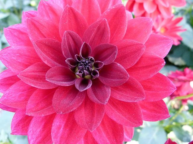 Free dahlia flower plant garden nature outside beauty