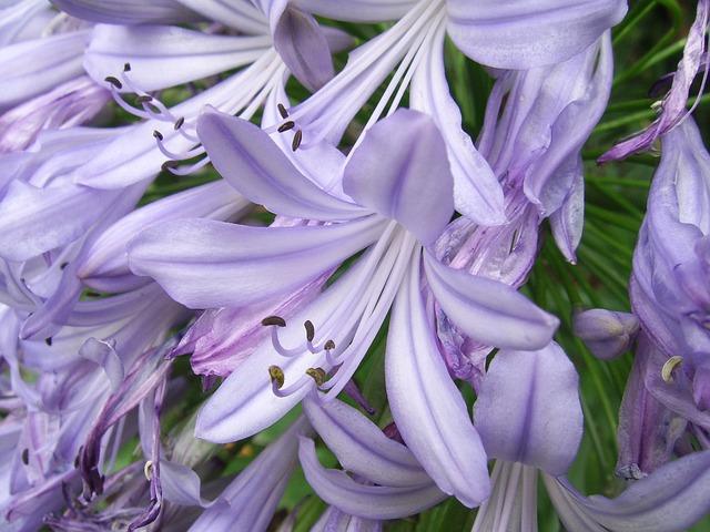 Free agapanthus flower purple