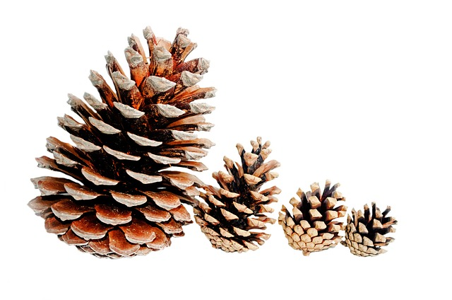 Free background big brown christmas cone conifer
