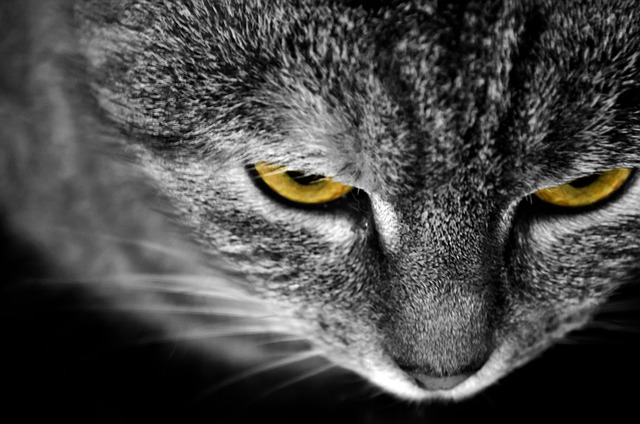 Free cat animals macro detail eye eyes yellow