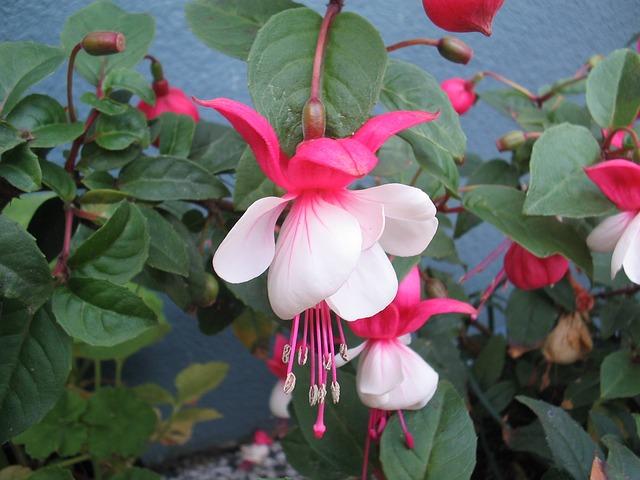 Free flowers plant fuchsia red white wall foliage