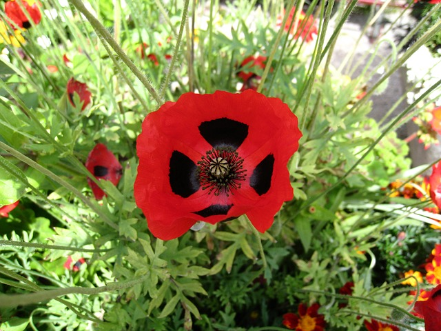 Free poppy flower red black foliage green summer