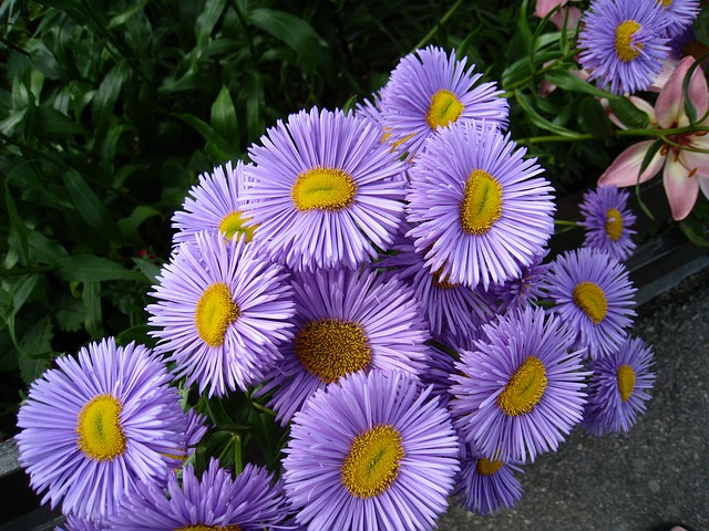 Free flowers blue asters summer green natural garden