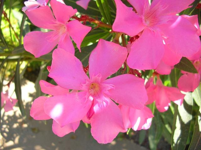 Free flower garden flowers pink oleander pink flower