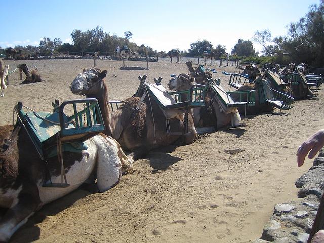 Free gran canaria camels camel nature animal pets
