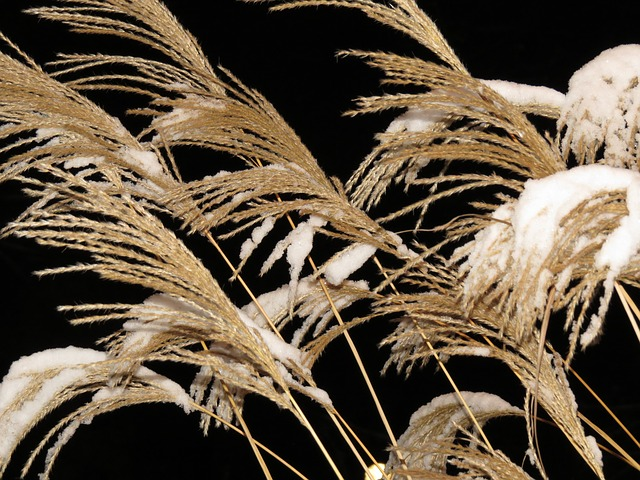 Free reed grass trockenblume dry miscanthus