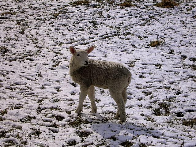 Free winter lamb schäfchen easter