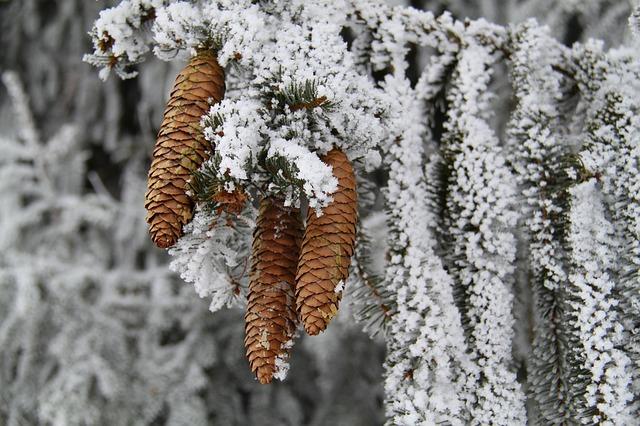 Free tree winter seasons snow ice frost pine cones