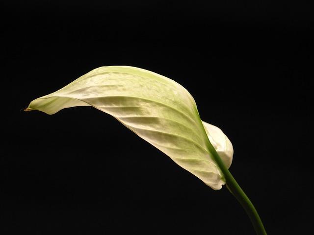 Free vaginal sheet yellowish journal spathiphyllum