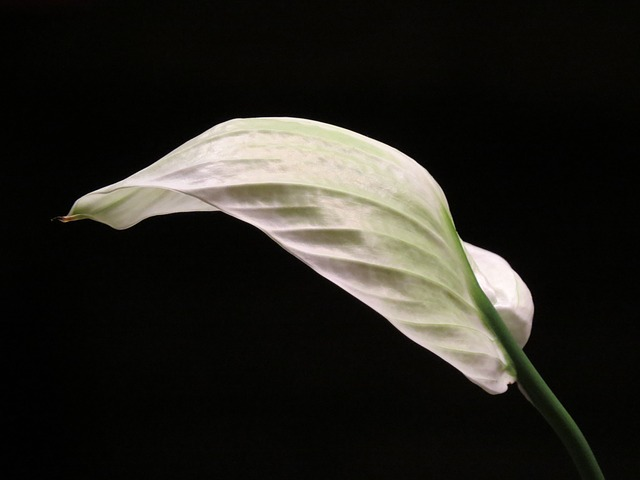 Free vaginal sheet journal white spathiphyllum flower