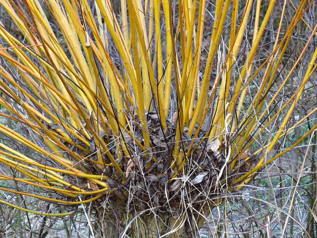 Free pasture tree plant pollarded willow branches