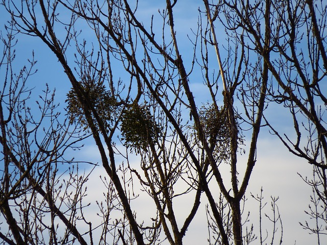 Free tree poplar white poplar silhouette black