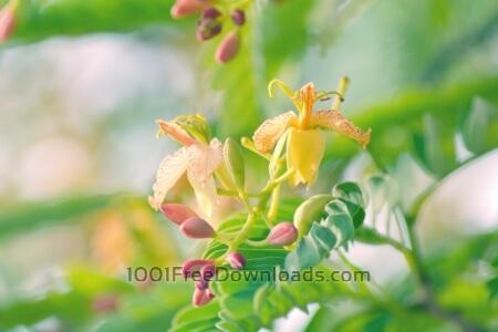 Free Tamarind flowers