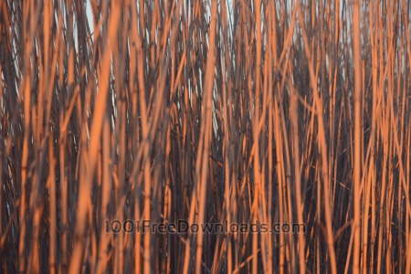 Free Close up reeds