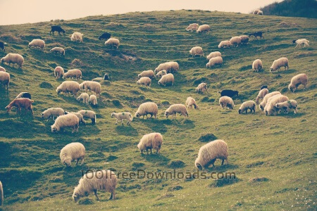 Free Rural landscape with sheeps on the hill