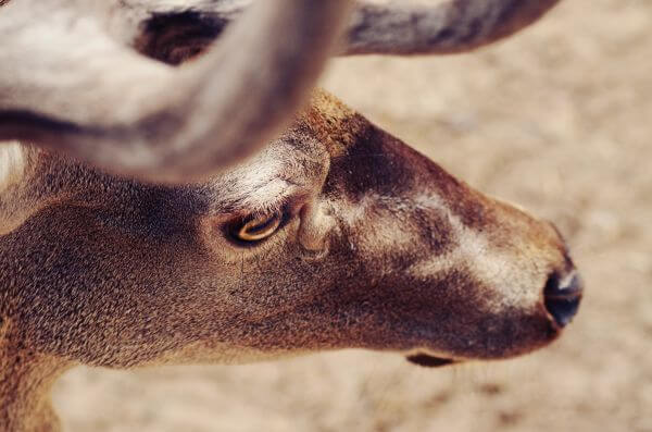 Free Deer closeup