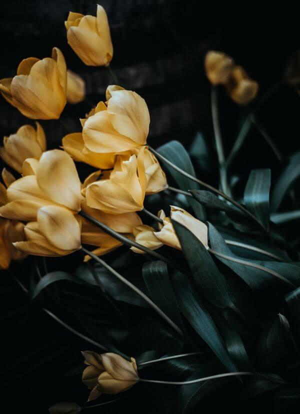 Free Tulips