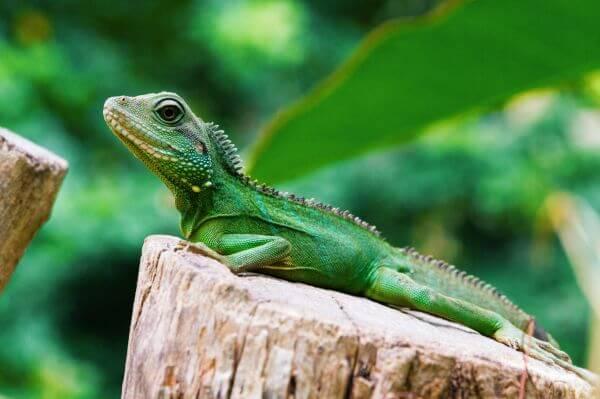 Free Lizard