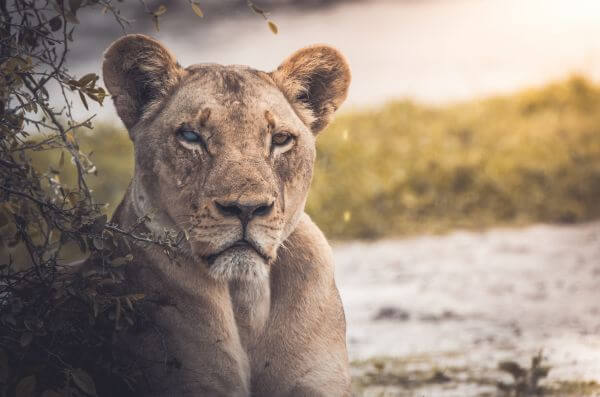 Free Blind Lioness