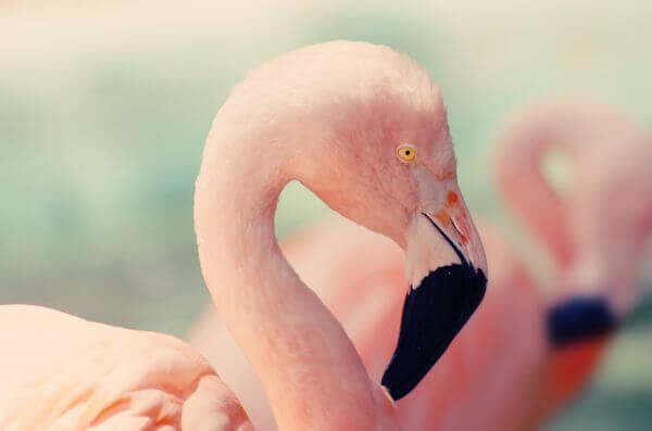 Free Flamingo closeup