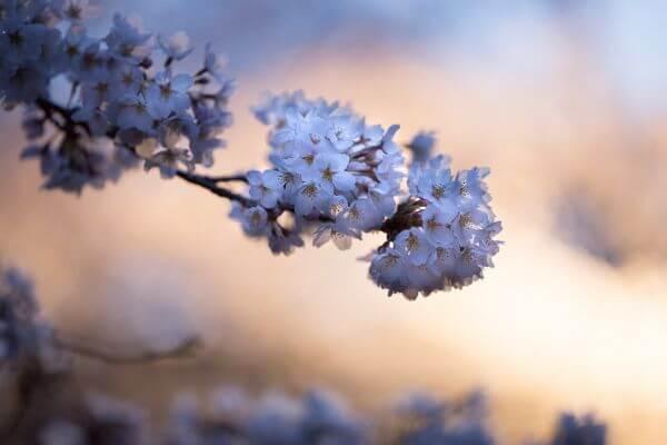 Free evening blossom