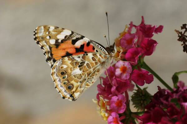 Free butterfly / provence