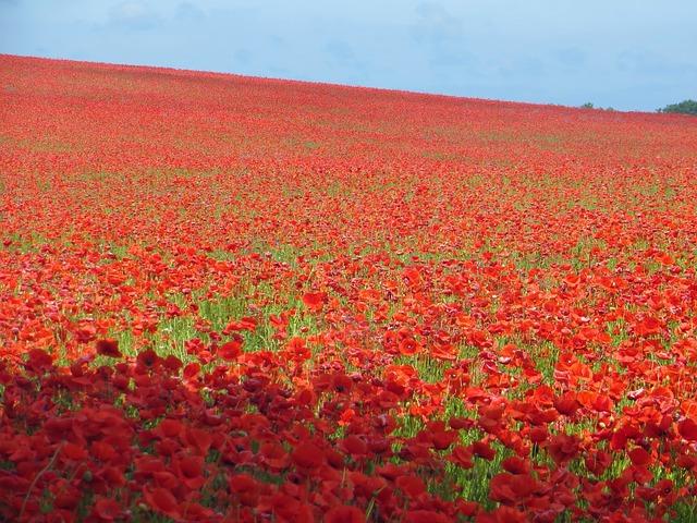 Free poppy field poppy sea of flowers red bloom plant