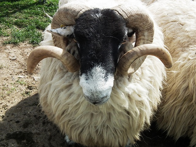 Free sheep bock ram animal wool horn horns aries