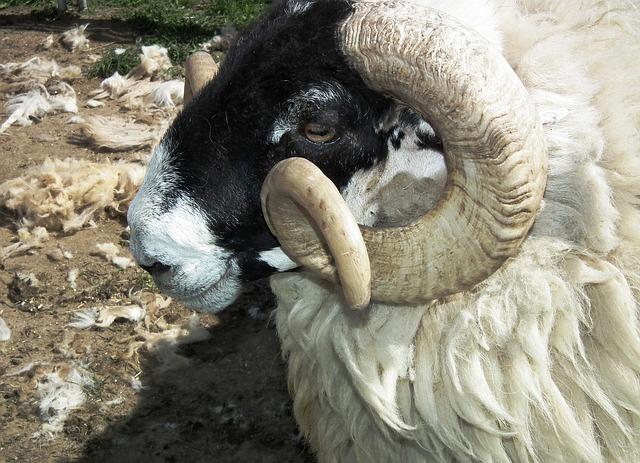 Free sheep wool ram head animal portrait horn aries