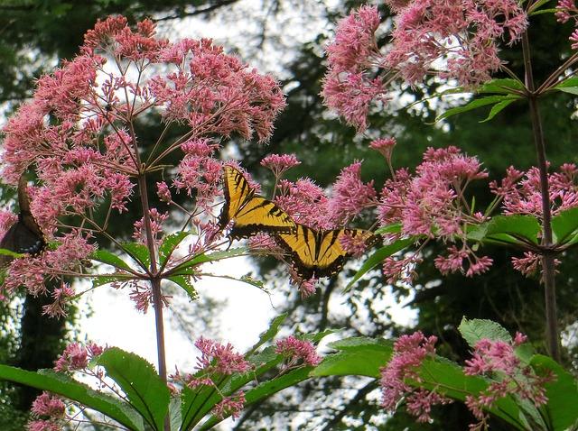 Free joe pye weed butterfly flowers yellow pink