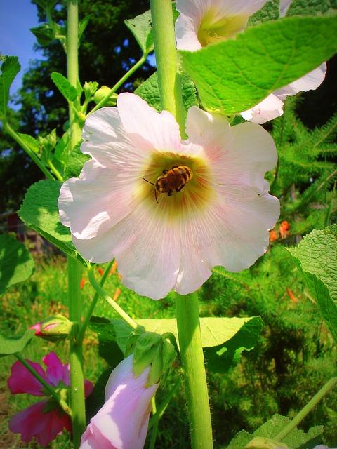 Free hollyhock bee flower nature garden summer pink