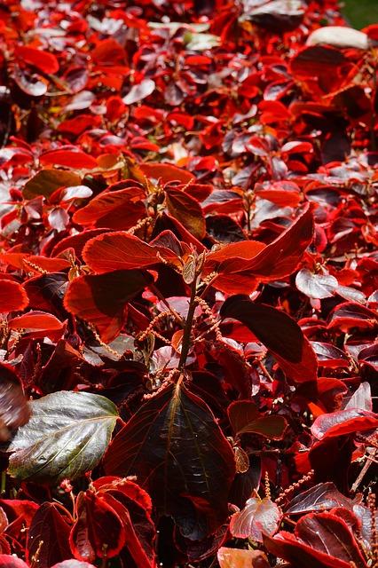 Free bush leaves red wine red reddish