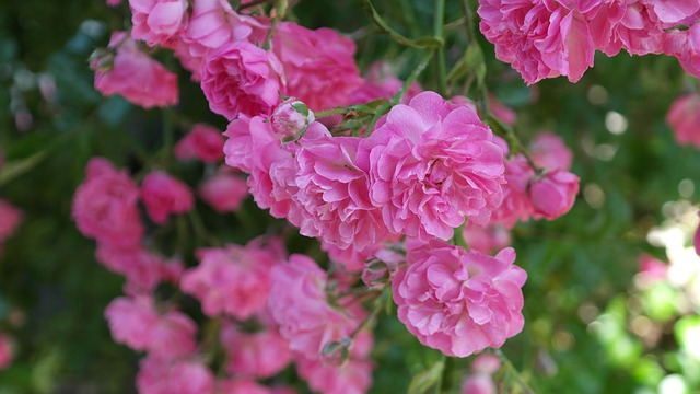 Free rose pink rose flower floribunda fragrant