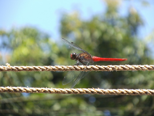 Free dragon fly red dragon insect bug nature creature