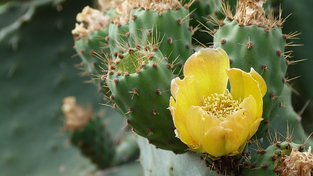 Free cactus plant flower yellow spur