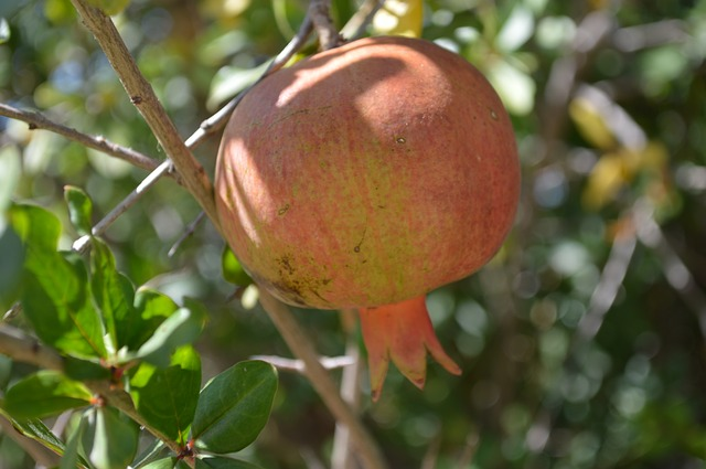 Free pomegranate food fruit nature fruit tree orchard