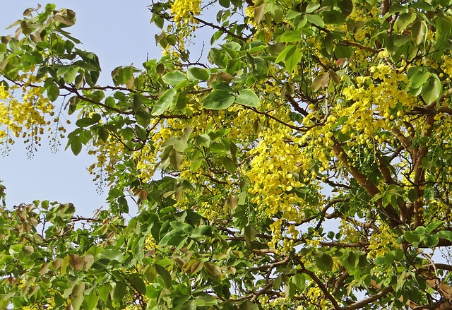 Free cassia fistula golden shower tree amaltas flowers