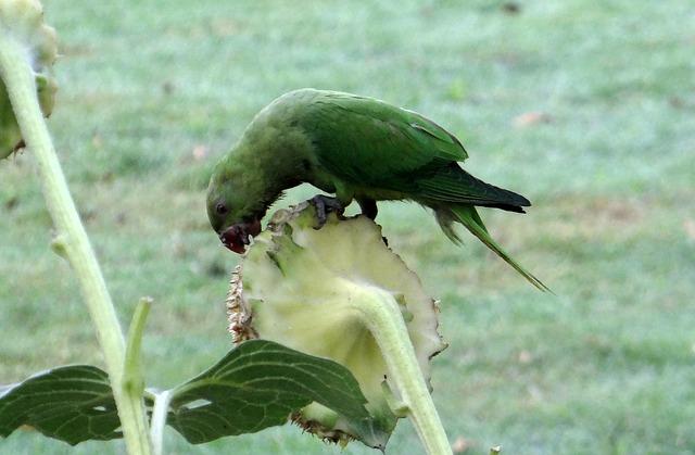 Free rose-ringed parakeet psittacula krameri