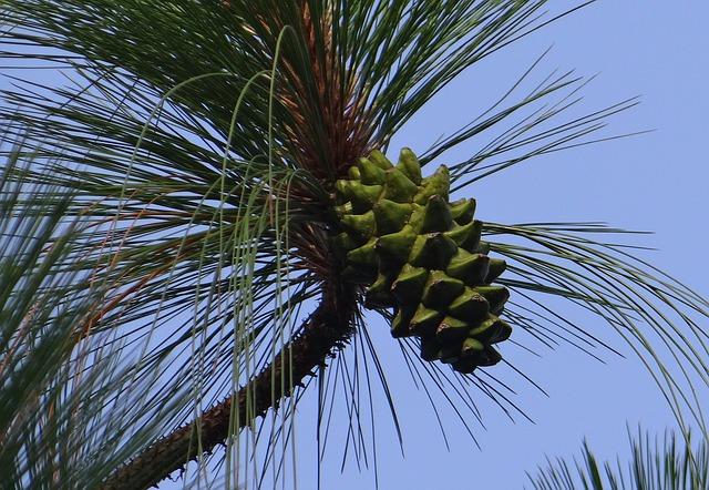 Free himalayan blue pine cone himalayan pine bhutan pine