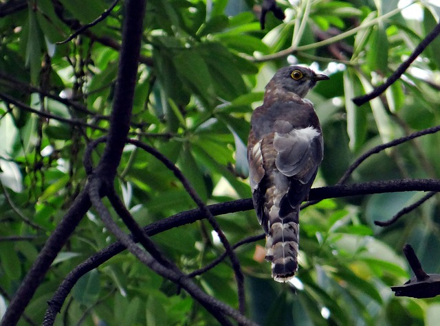 Free brainfever bird common hawk-cuckoo cuckoo bird