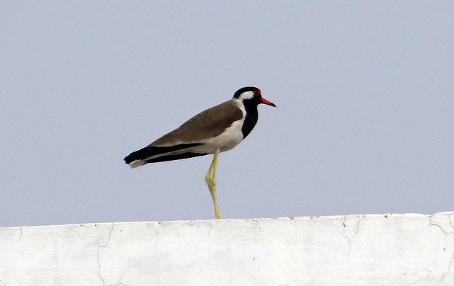 Free red-wattled lapwing vanellus indicus lapwing plover
