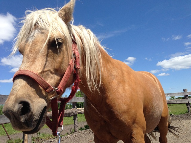 Free horse haflinger halter pony beautiful breed