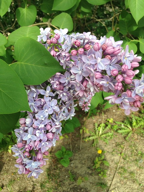 Free lilacs flowers purple lilac nature floral blossom