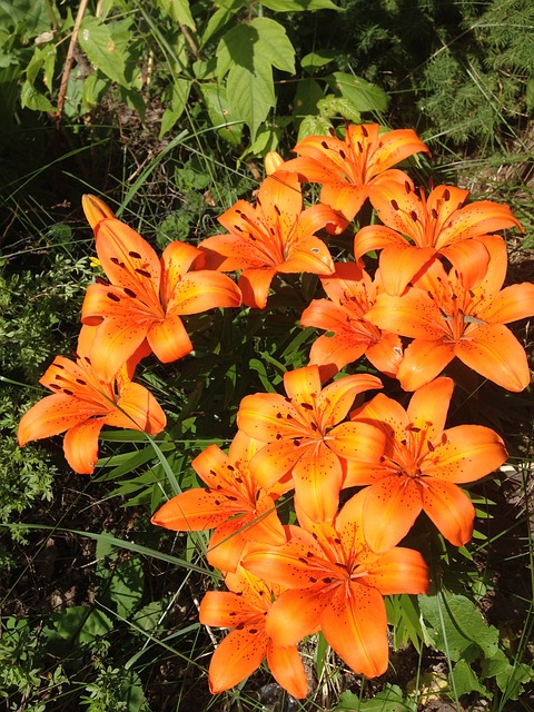 Free tiger lillies flowers fauna orange nature